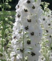 Дельфиниум высокий (Delphinium elatum) Magic Fountains White With Dark Bee, 10 семян