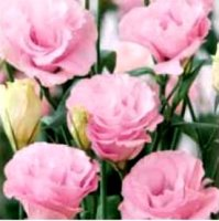 Эустома(Лизиантус) махровая (Eustoma grandiflorum) Advantage Pink, 5 шт.