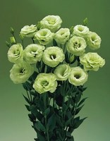 Эустома(Лизиантус) махровая (Eustoma grandiflorum) Arena Green, 5 шт.