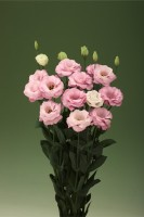 Эустома(Лизиантус) махровая (Eustoma grandiflorum) Arena Light Pink, 5 шт.