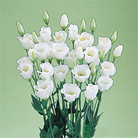 Эустома(Лизиантус) махровая (Eustoma grandiflorum) Vulcan White, 5 шт. драже