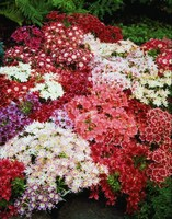 Флокс Друммонда (Phlox drummondii) Twinkling Beauty Mixed, 10 штук семян