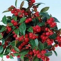 Гаултерия (Gaultheria procumbens) Very Berry, 10 шт семян