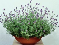 Лаванда многонадрезная (Lavandula multifida) Spanish Eyes, 10 семян