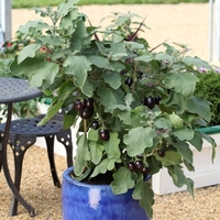 Баклажан (Solanum melongena F1) Pot Black, 5 шт. семян
