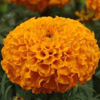 Бархатцы прямостоячие (Tagetes erecta F1) Taishan Orange, 10 очищ. семян