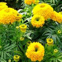 Бархатцы прямостоячие (Tagetes erecta) Cupid Gold, 0,2 г семян