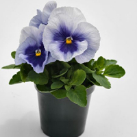 Виола Виттрока (Viola wittrockiana) Inspire Plus Metallic Blue Blotch, 5 шт. семян