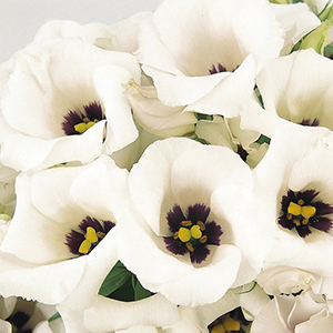 Эустома(Лизиантус) (Eustoma grandiflorum) Florida Silver, 5 драже